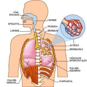 Los seres humanos¿Cómo respiramos?